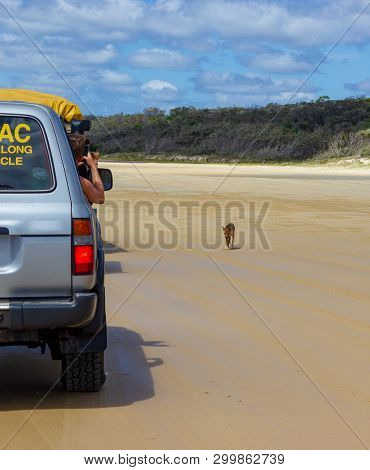 Trourist Taking Pictures Of A Dingo Out Of The Car, On The Beach In Great Sandy National Park, Frase