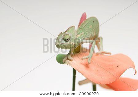 Chameleon baby on pink flower