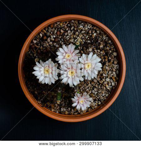 Close Up Pink Flower Of Gymnocalycium Mihanovichii Cactus.
