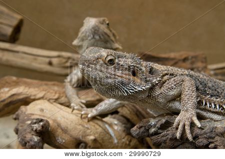 Family of central bearded dragons