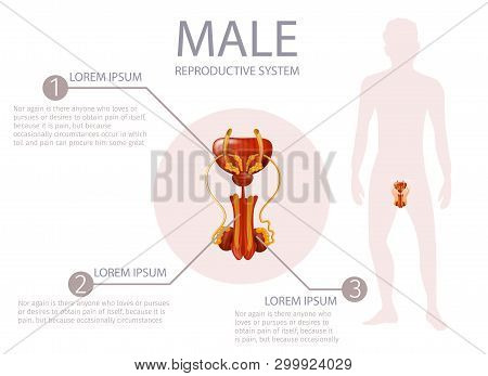 Male Reproductive System. Abstract Faceless Guy Stand On White Background. Anterior Man Genitals Wit