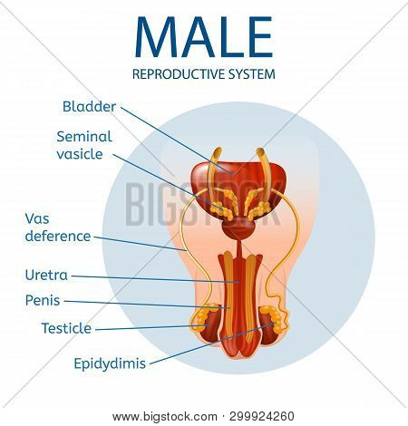 Anterior Close Up View Of Mans Genitals With Main Parts Labeled Inside Of Blue Circle Isolated On Wh
