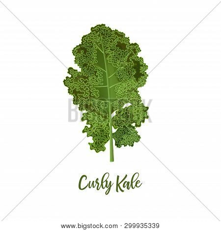 Curly Kale. Food Concept. Fresh Juicy Raw Close Up Leaf Cabbage Isolated. Healthy Diet, Vegetarian F