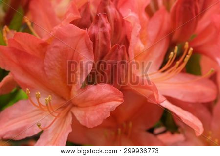 Beautiful Spring Flowers On Rhododendron Bushes Close-up Macro Photography