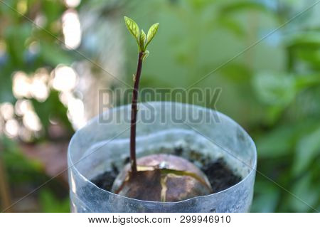 Young Avocado, Persea Sp., Plant In Recycled Plastic Pot, Central Of Thailand