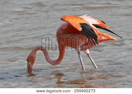 Adult American Flamingo (phoenicopterus Ruber) Foraging In A Pond - Floreana Island, Galapagos