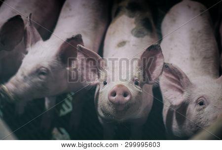 Curious Piglet's Snout