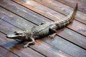 photographed alligator on a deck at the gulf of Mexico Florida poster