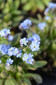 Blue Woodland forget-me-not - Latin name - Myosotis sylvatica poster