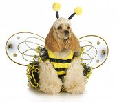 dog dressed like a bee - american cocker spaniel wearing a bumble bee costume poster