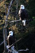 Like all birds of prey, eagles have very large, hooked beaks for ripping flesh from their prey, strong, muscular legs, and powerful talons poster