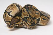 Python regius snake in a roll against white background. poster