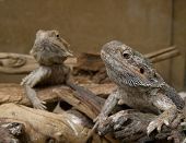 Family of central (or Inland) Bearded Dragons (Pogona vitticeps) in terrarium poster