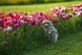 A Little German Spitz Dog Smelling Tulips