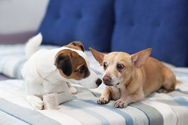 Two Dogs Sit On The Couch And Share A Bone. Dogs Kiss. Close-up Portrait Of A Dog. Jack Russell Terr
