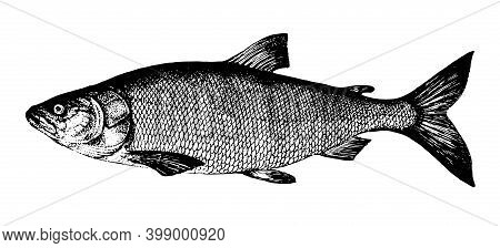White Salmon, Nelma. Fish Collection. Healthy Lifestyle, Delicious Food, Ichthyology Scientific Draw