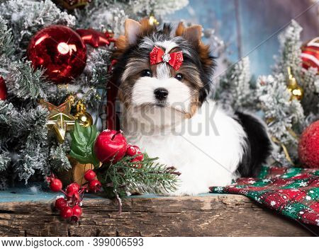 dog Biewer Yorkshire Terrier on the background of New Year's decor; Christmas dog