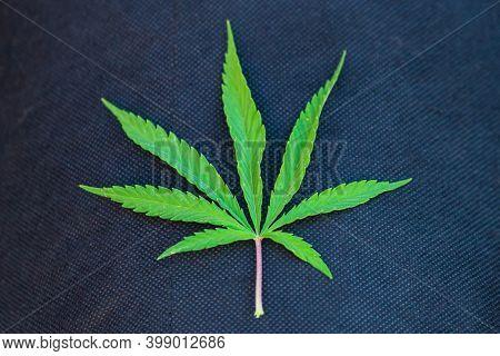 Green Cannabis Sativa Or Marijuana Leaf. Legalization Of Illicit Drugs