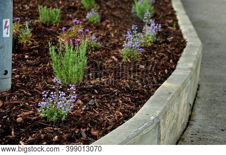 Ornamental Flowerbed With Perennials And Flowering Sage Mulched Bark At The Curb Parking Detail