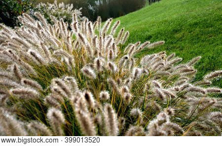 Flowerbeds With Ornamental Grasses In Long Lines In Autumn With Glittering Dewdrops On The Ears Of T