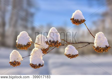 Golden Dry Flowers From Seed Vessels On Bush Twigs Snow Covered - Natural Christmas Decoration Of Wi