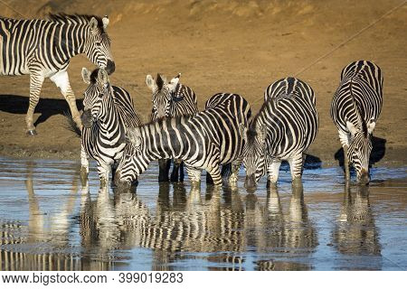 Zebra Herd Standing In Muddy Water In Golden Morning Sunlight In Kruger Park In South Africa