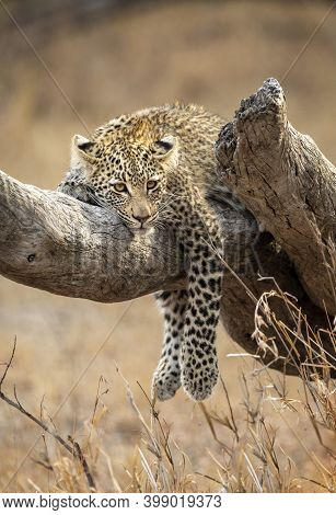 Young Leopard Cub Resting On A Dead Tree Branch In Kruger National Park In South Africa
