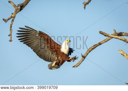 Fish Eagle (haliaeetus Vocifer) With Its Wings Wide Open Trying To Land On A Tree Branch In Kruger P