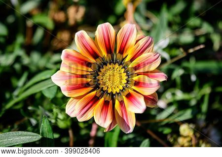 Top View Of One Vivid Yellow And Orange Gazania Flower And Blurred Green Leaves In Soft Focus, In A