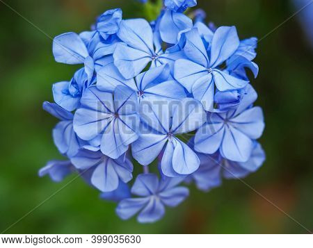Closeup Of A Cluster Of Little Blue Flowers Of The Cape Plumbago Or Cape Leadwort, Plumbago Auricula