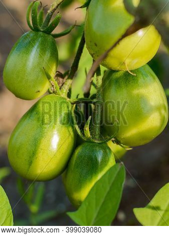 Green Tomatoes Growing On The Branches. It Is Cultivated In The Garden. Russian Village