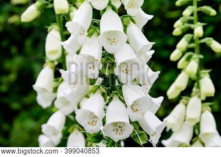 Close Up Of White Flowers Of Digitalis Plant, Commonly Known As Foxgloves, In Full Bloom And Green G