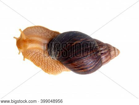 One Big Snail Isolated On White Background