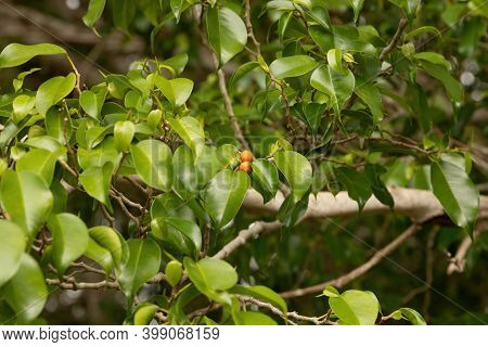 Foliage Of Weeping Fig Tree