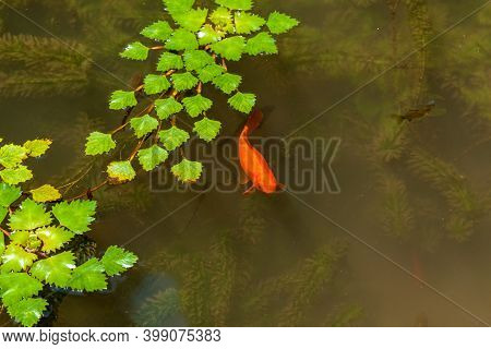 Beautiful Park Pond With Green Algae Leaves On The Water And Goldfish. Lake With Goldfish In The Par