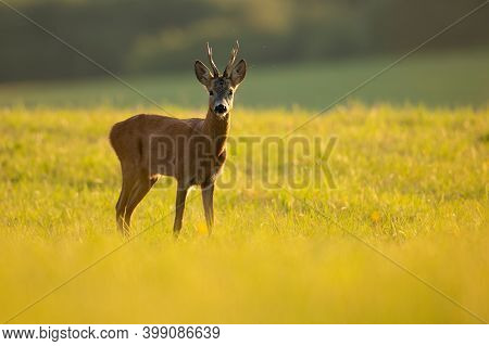 Roe Deer Buck Standing On Grassland In Sunny Summer Nature.