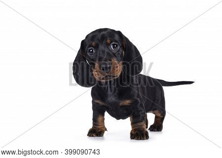 Adorable Black And Tan Dachshund Aka Teckel Dog Puppy, Standing Facing Front. Looking Towards Camera