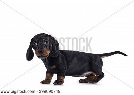 Adorable Black And Tan Dachshund Aka Teckel Dog Puppy, Standing Side Ways. Looking Towards Camera. I