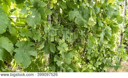 Vineyard On Moselle In Traben Trabach In Germany