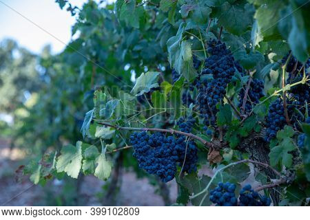 Grapes Wineries. Bunch Of Red Grapes. Mature Grapes, Ready To Harvest.