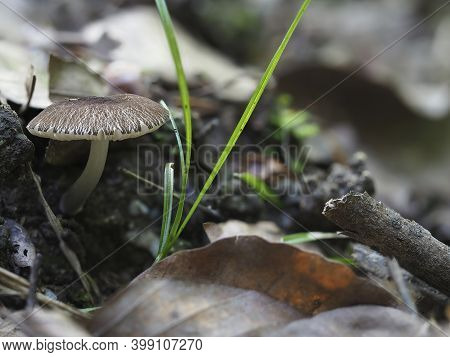 The Velvet Shield (pluteus Umbrosus) Is An Inedible Mushroom , Stacked Macro Photo