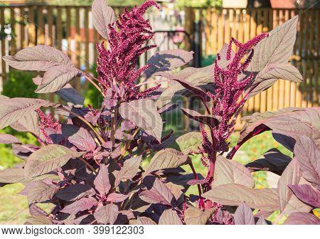 Beautiful Garden Flower Amaranth Velvet Curtain Amaranthus Cruentus, Dark Red Inflorescences And Lea