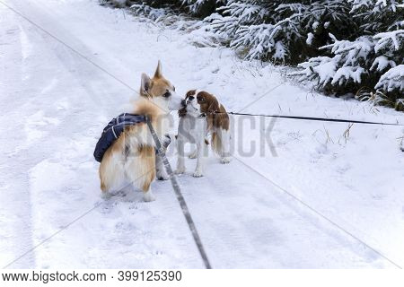 Meeting Of Two Dogs With Leash In Snowy Winter Park. Cute Puppies Welsh Corgi And Cavalier King Char
