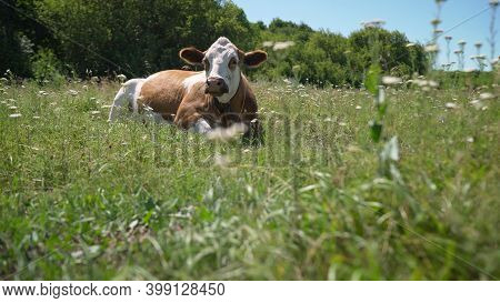 A Beautiful White-red Cow Lies And Chews The Grass. A Cow Red And White In A Pasture Lying Lazy, Str