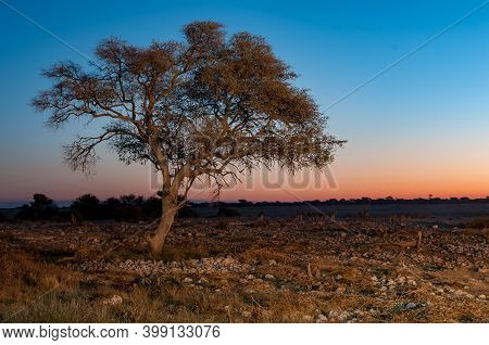 Silhouettes Of Burchells Zebras Walking Past A Large Tree At Sunset In Northern Namibia