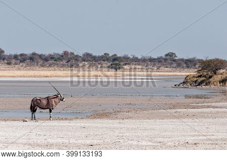 An Oryx, Oryx Gazella, At Fischers Pan In Northern Namibia