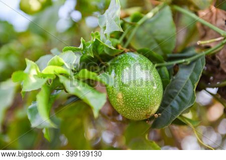 Passion Fruit Growing On Vine Tree Plant, Fresh Raw Green Passion Fruit