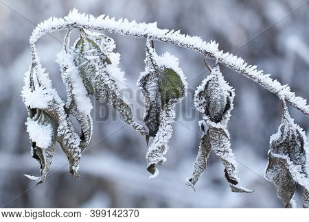 Beautiful Branch With Dry Twisted Leaves Twisted With Snowy Rime In Crystals On A Winter Frosty Day