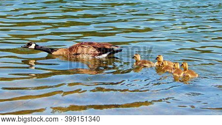 Mama Goose And Her Babies - A Canadian Goose Scene On Walton Lake - Ochoco Mountains - Northeast Of