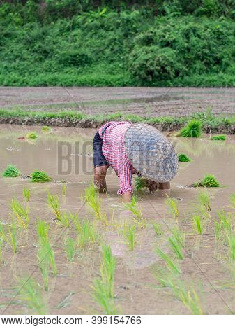 Young Woman Farmers Bend Down For Are Rice Planting On The Paddy Rice Farmland. In Northern, Thailan